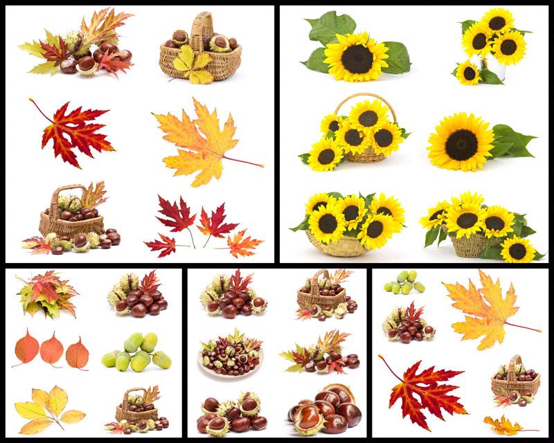 秋天枫叶与果实高清图片