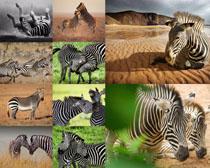 陆地动物斑马摄影时时彩娱乐网站