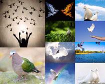 和平鸽摄影高清图片