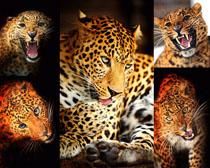 凶猛的豹子摄影时时彩娱乐网站