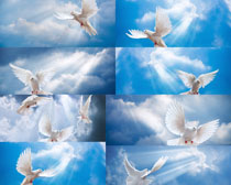 蓝天下的和平鸽摄影高清图片