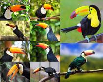 树枝上的大嘴鸟摄影高清图片