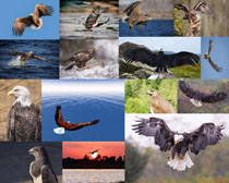 飞翔的老鹰摄影高清图片
