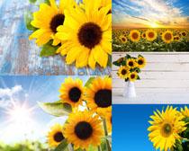 向日葵与阳光摄影高清图片