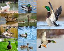 湖中的鸭子摄影高清图片