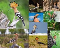 啄木鸟动物摄影高清图片