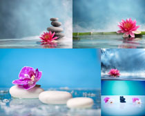 漂亮的荷花與石頭攝影高清圖片