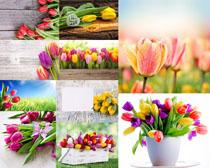 百合花朵攝影高清圖片