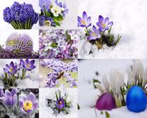 雪天的紫色花朵攝影高清圖片