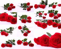 紅玫瑰花朵攝影高清圖片