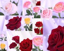 粉紅與紅色玫瑰花攝影高清圖片