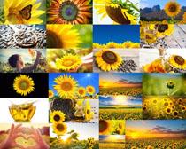 大片的向日葵攝影高清圖片