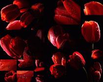 水珠玫瑰花朵攝影高清圖片