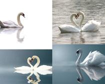 美丽的白天鹅摄影时时彩娱乐网站