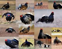 野鸡动物摄影时时彩娱乐网站