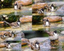 水中的鸳鸯摄影高清图片