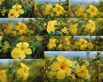 黃色小花朵攝影高清圖片