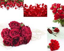 漂亮的紅玫瑰攝影高清圖片