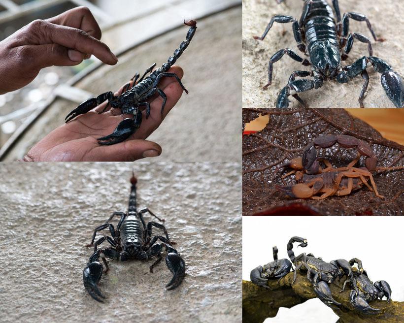 黑色的蝎子动物时时彩平台娱乐