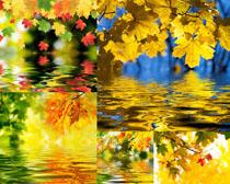 楓葉與水攝影高清圖片