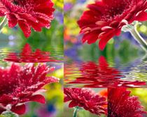 水中的紅色花朵攝影高清圖片