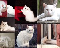 白色猫咪摄影时时彩娱乐网站