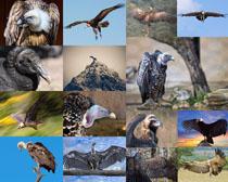 凶猛的老鹰摄影时时彩娱乐网站