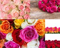 玫瑰花朵攝影高清圖片