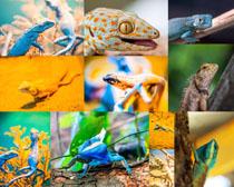 变色蜥蜴摄影时时彩娱乐网站