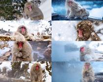 冬季猴子摄影高清图片