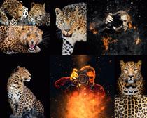 豹子拍摄摄影时时彩娱乐网站