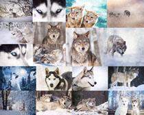 雪地狼摄影时时彩娱乐网站
