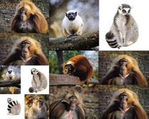 美洲猩猩摄影高清图片