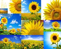 向日葵花朵攝影高清圖片