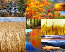 小麥楓葉植物攝影高清圖片