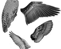 飞鸟的翅膀PS笔刷素材