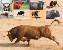 疯狂的公牛摄影时时彩娱乐网站