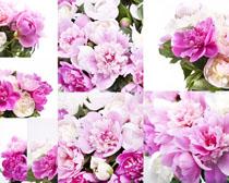 牡丹花朵摄影高清图片