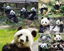 可爱熊猫摄影时时彩娱乐网站