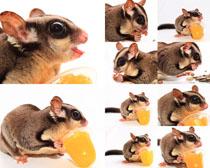 宠物小老鼠摄影高清图片