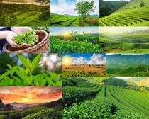 满山茶叶摄影高清图片