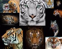 老虎写真拍摄时时彩娱乐网站