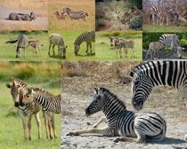 动物斑马摄影时时彩娱乐网站