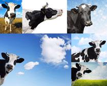 蓝天与奶牛摄影时时彩娱乐网站