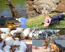 凶猛的鳄鱼摄影时时彩娱乐网站