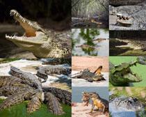 鳄鱼动物拍摄时时彩娱乐网站