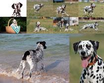 斑点狗摄影高清图片
