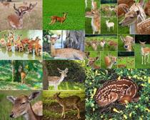 梅花鹿动物摄影高清图片