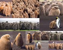 南极企鹅动物拍摄时时彩娱乐网站