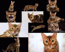 活拨的猫咪摄影时时彩娱乐网站